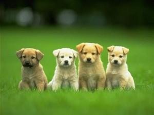 Buy a Dog in Ottawa