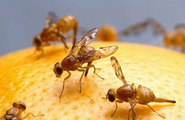 Getting Rid of Fruit Flies