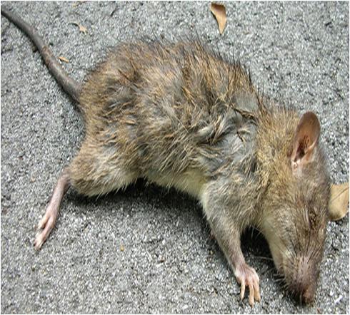 Dead Rat Smell