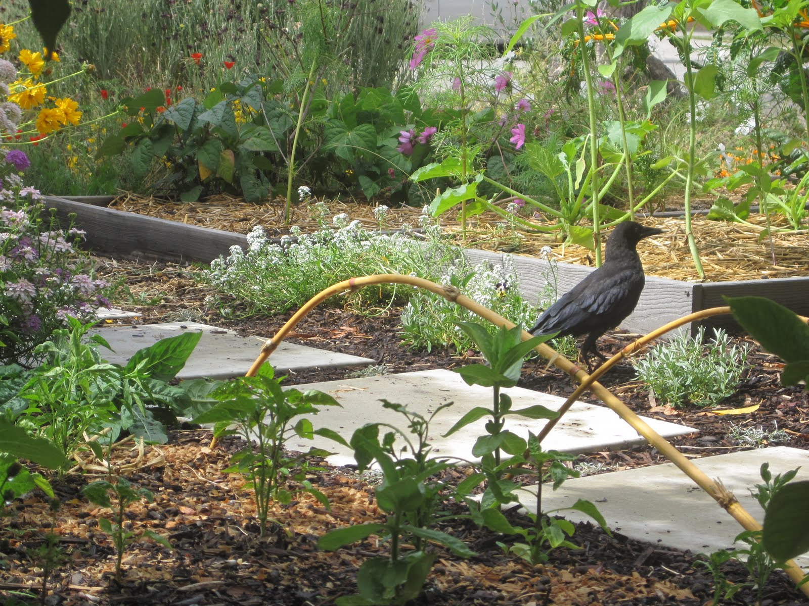 how to get rid of crow in garden
