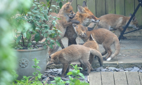 How to get rid of foxes in Garden