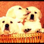 Dog breeding License