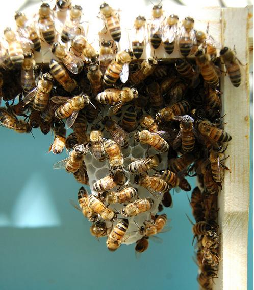 bees in home