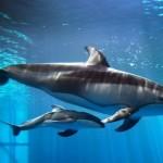 Shedd Aquarium Reveals that Newborn Dolphin is a Boy