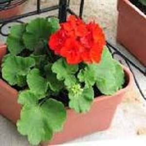 Geraniums in Pots