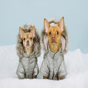 Two Chihauhaus Wearing Winter Coats