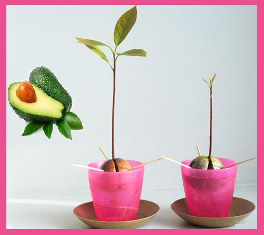how to grow an avocado tree frmo pit