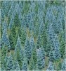 Color of Christmas Trees