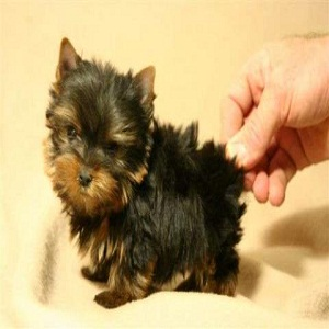 How to Breed a Teacup Yorkie