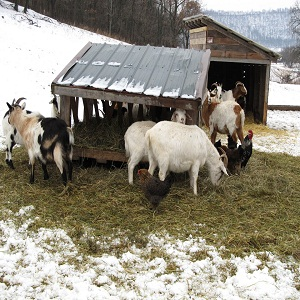Goats in the Winter