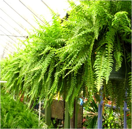 Care for Ferns during the Winter
