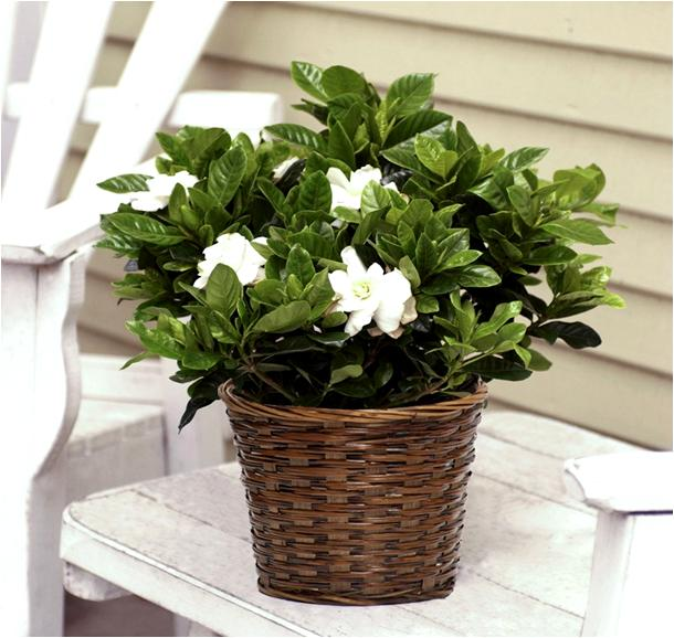 How to care for a gardenia house plant - Scented indoor plants that give your home a great fragrance ...