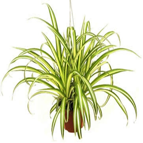 how to care for a spider plant. Black Bedroom Furniture Sets. Home Design Ideas