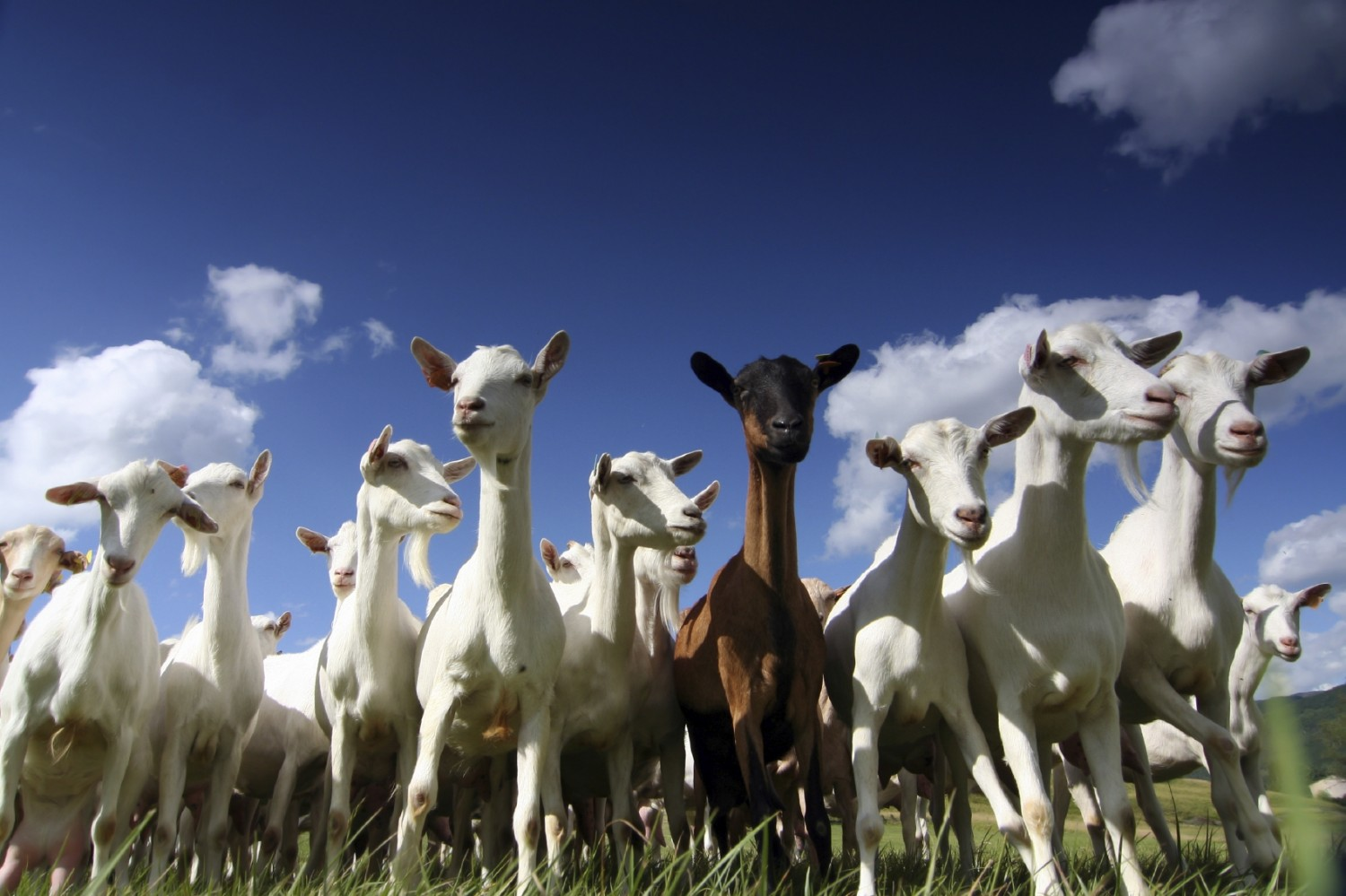 healthy goats