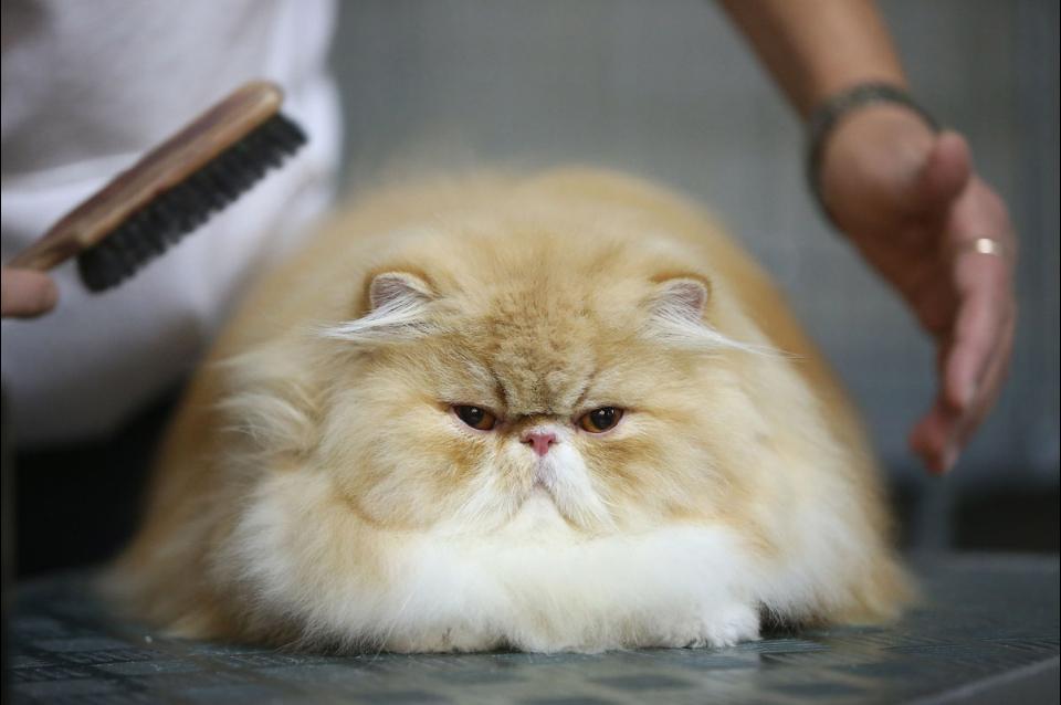 Groom a Cat with Long Hair