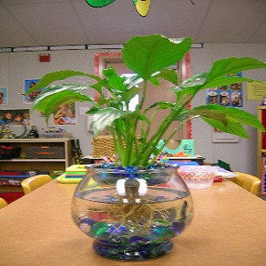 Grow a Lily Flower in your Fish Bowl