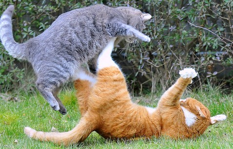 Cats Fighting with each other