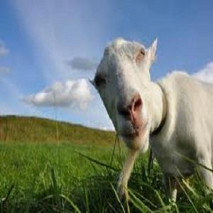Stopping & Treating Goat Diarrhea