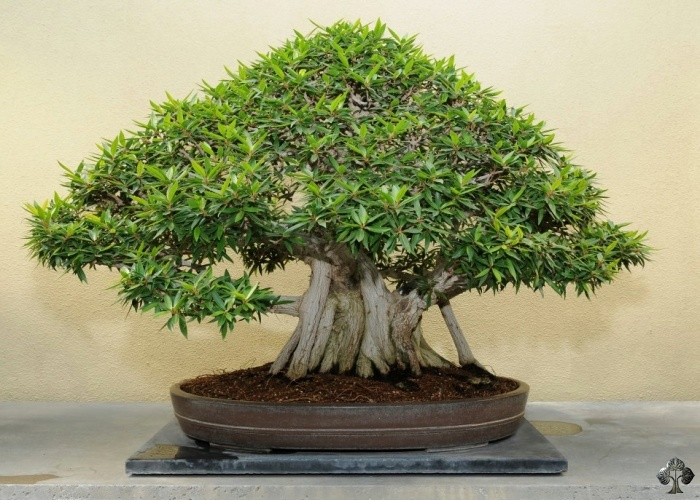how to take care of a ficus bonsai tree