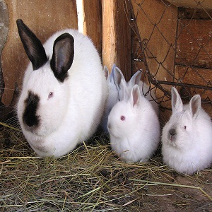 Breed Californian Rabbits