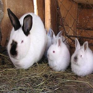 Breed Californian Rabbits