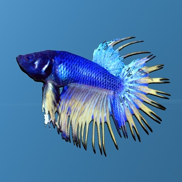 Chinese Fighting Fish