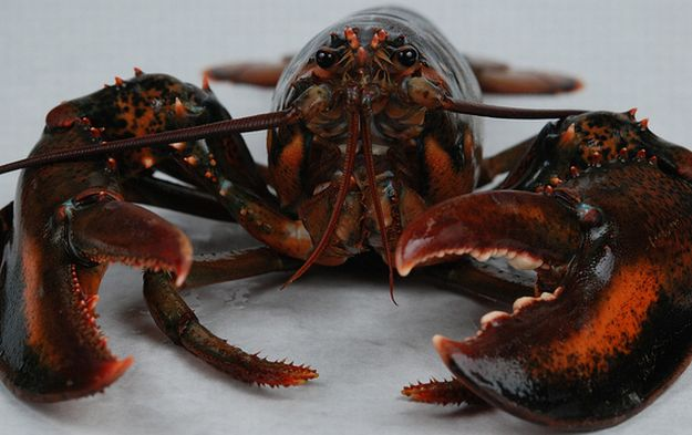 how to breed lobsters