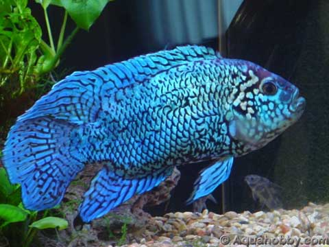 Tips about How to Breed Jack Dempsey s