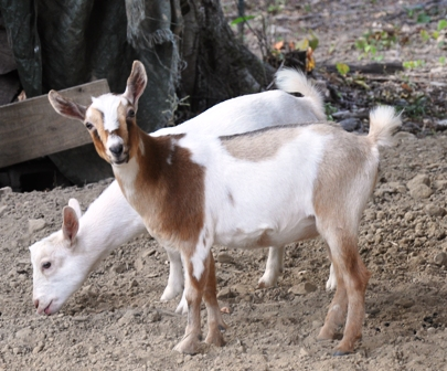 Tips about How to Breed Pygmy Goats