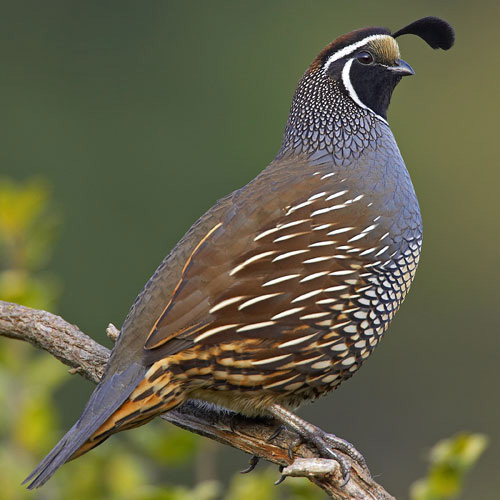 How to Breed Quail for Meat