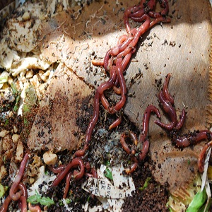 How to Breed Red Worms Fast