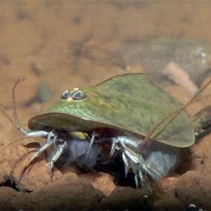 Breed Triops longicaudatus
