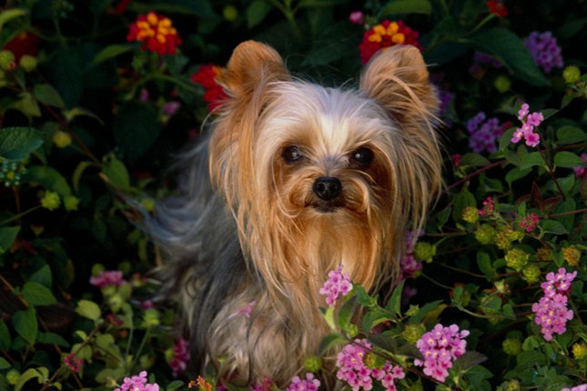 How to Breed Yorkies Dogs
