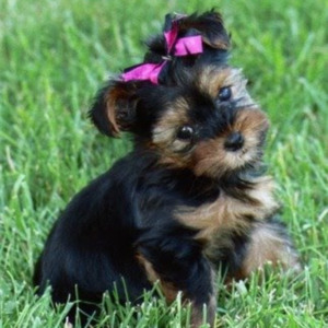 Breed Yorkshire Terriers
