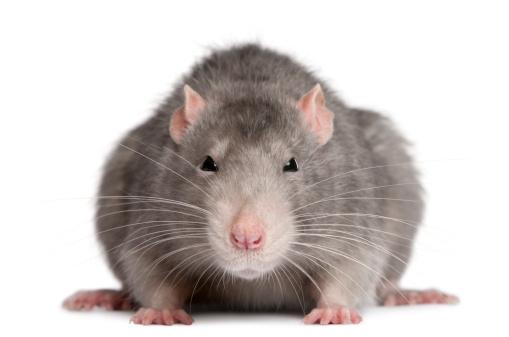 Catch a Rat in a Garage