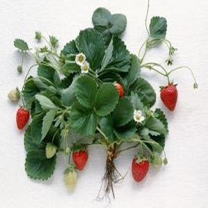 How to Clone a Strawberry Plant