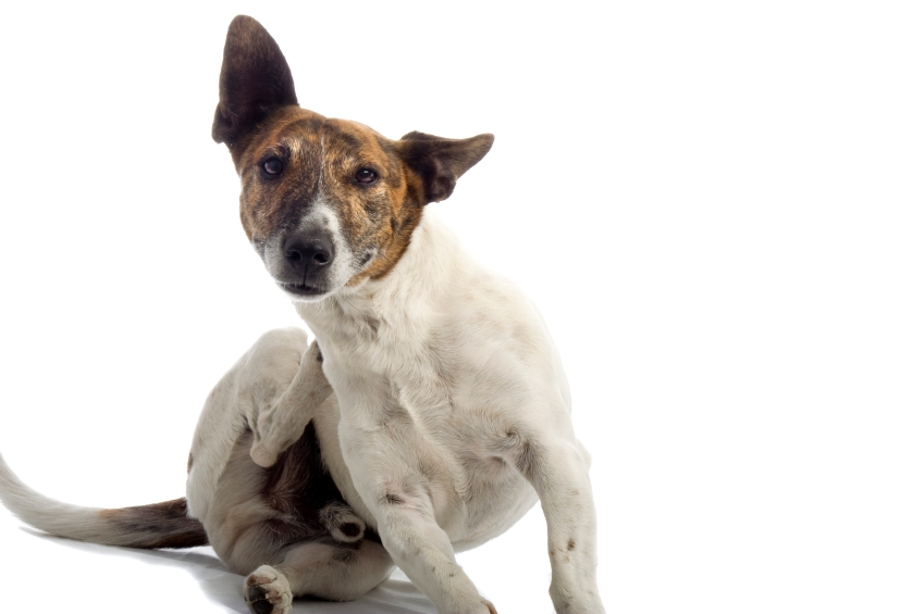 Dry Itchy Skin on Dog