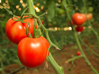 How To Grow Tomatoes From Seeds At Home
