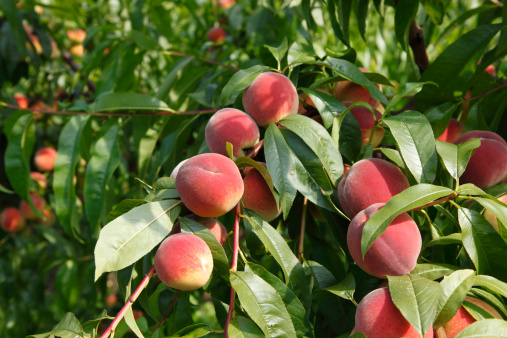 Tips about How to Grow a Peach Tree from a Peach Pit
