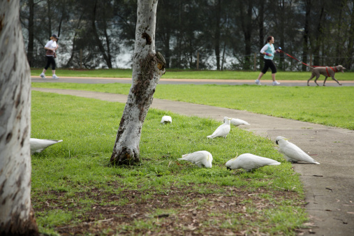 Cockatoos in the park