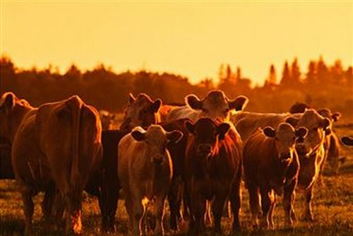 Raise Beef Cattle on a Few Acres