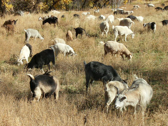 How to Raise Goats for Brush & Weed Control