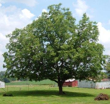 A fully grown pecan tree