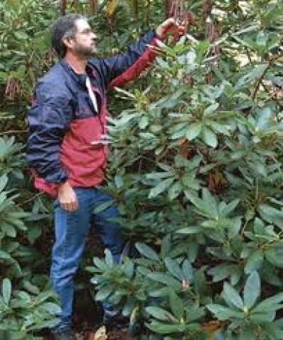 Trimming a Rhododendron