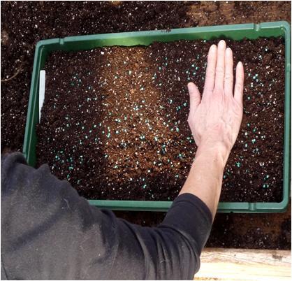 Como cultivar cilantro sin semilla
