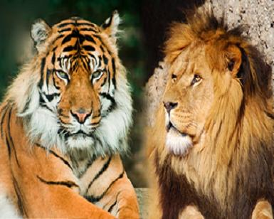 how to differentiate between lions and tigers