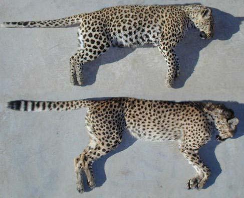 Leopard and a Cheetah