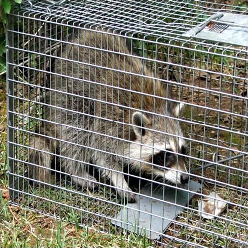 Homemade Raccoon Trap
