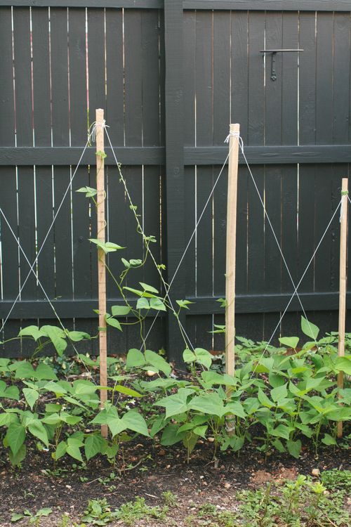 Tips about How to Build a Trellis for Growing Pole Beans