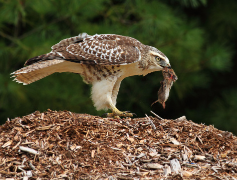 Tips about How to Catch a Hawk